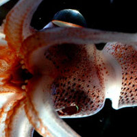 [i]Histioteuthis[/i], a squid with asymmetrical eyes. (source: [url=http://en.wikipedia.org/wiki/File:Histioteuthis_NOAA.jpg]Wikipedia[/url])